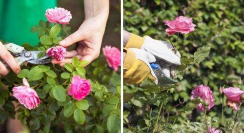 Comment tailler les rosiers pour une nouvelle floraison ?