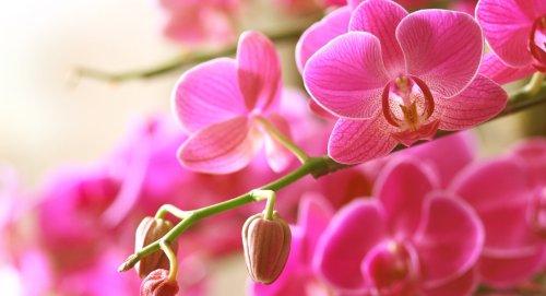 A quelle fréquence arroser une orchidée ?