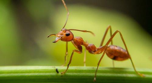 Comment repousser les fourmis avec des peaux de banane ?
