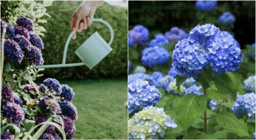 Comment bien entretenir des hortensias durant l'été ?