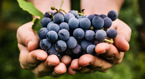 Cure de raisin : pourquoi faut-il la faire absolument avant l'hiver ?