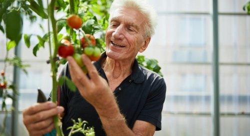 Quand et comment tailler les plants de tomates ?