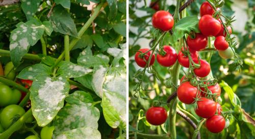 Les erreurs à ne pas commettre pour éviter le mildiou sur les tomates