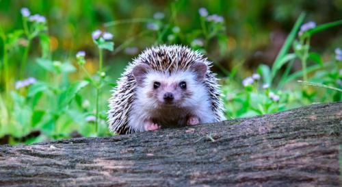 9 erreurs à absolument éviter si on souhaite accueillir un hérisson au jardin
