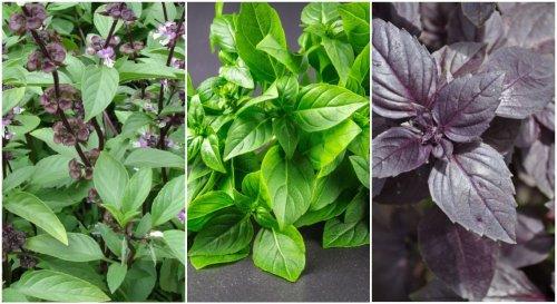 Basilic : les différentes variétés pour varier les saveurs !