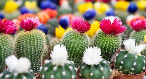 Quels gestes appliquer pour faire fleurir son cactus facilement ?
