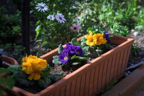 Primevère : plantation, floraison, arrosage: plantation, exposition et conseil - Fiche jardinier