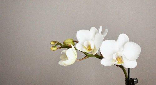 Pourquoi mon orchidée ne fait pas de fleur ?