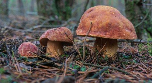 Cèpe des pins : comestible ou venimeux : tout sur les champignons