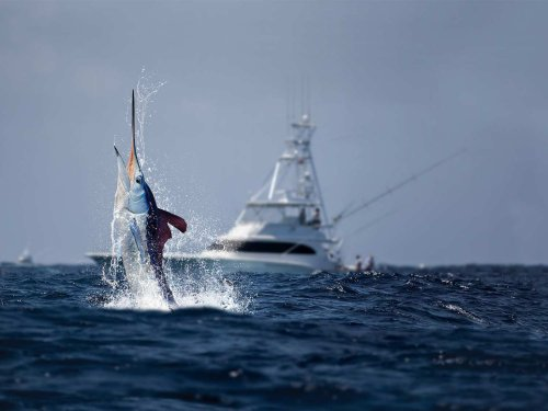 White Marlin Resurgence in New Jersey