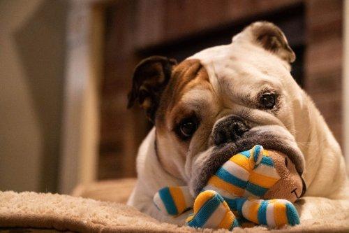 Quelle race de chien choisir quand on vit en appartement ?