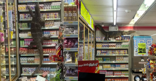 Watch this giant monitor lizard climb up a 7-Eleven milk shelf to cool off