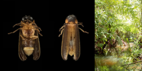 Completely new species of firefly discovered in Singapore after over 100 years