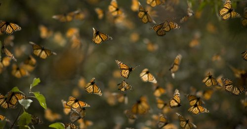 Listen to the magical sound of millions of butterflies taking flight at once