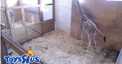 Internet's latest conspiracy theory: April the pregnant giraffe is just an April Fools' joke