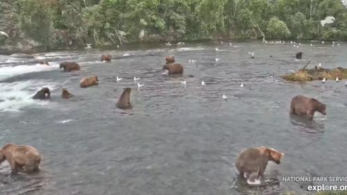 It's peak fat bear watching season, so tune in