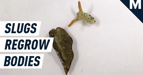 Deadpool-like slugs chop off heads to grow new, healthier bodies