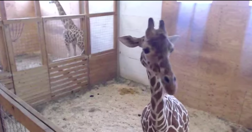 Never forget: This was the year we fell in love with April the giraffe