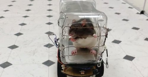 Researchers taught rats how to drive tiny cars and, crucially, there's video