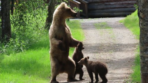 A mama fat bear mauled another bear. Here's why.