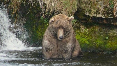 Fat bear champ is still gobbling fish and getting fatter