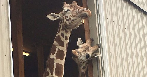 April the giraffe is raking in the cash while the world watches