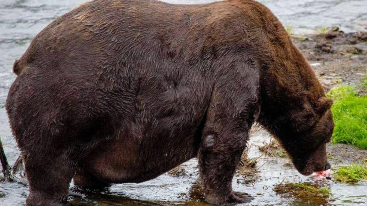 The fat bear cams at Alaska's Katmai National Park are back, baby