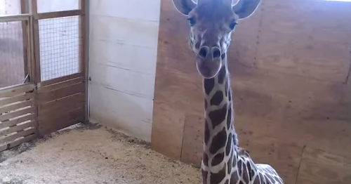 Brace yourselves: April the giraffe's calf is now reportedly 'sticking out'