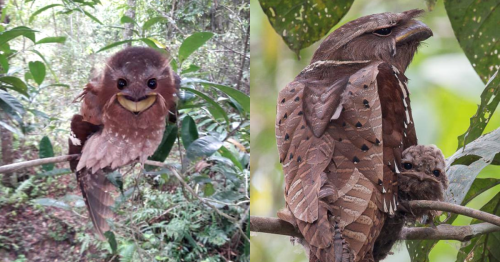 This rare Southeast Asian bird looks silly and serious at the same time