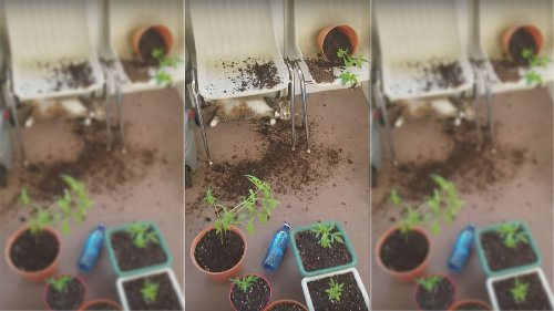 Woman finds her cats sprawled out on the floor after eating her marijuana plants