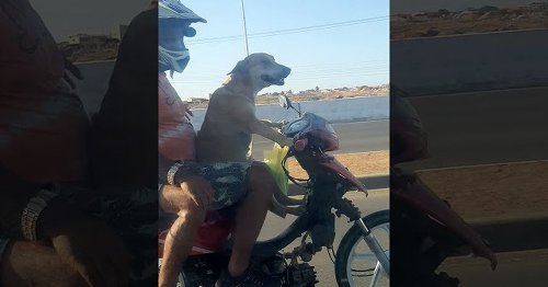 This great dog driving a motorbike on the highway is so happy with life