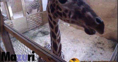 April the giraffe's unborn baby is a cash giraffe
