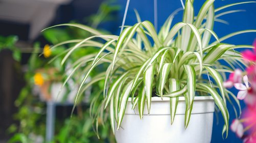 The Reason You Should Keep Spider Plants In Your Kitchen
