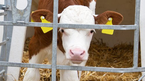 What Exactly Is Veal And Why Is It So Expensive?