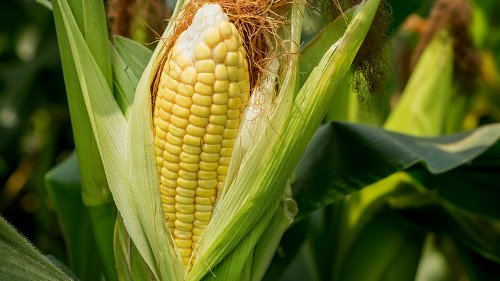 Here's The Trick To Buying Perfect Corn On The Cob