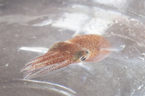 Squid in space: NASA sends dozens of squid from Hawaii to International Space Station for research