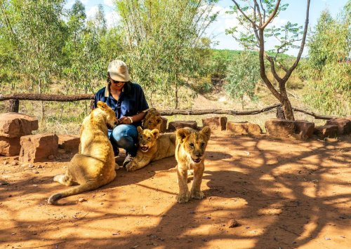 South Africa bans tourist interaction with captive lions