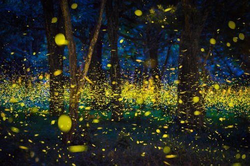 Thousands of fireflies are lighting up the Great Smoky Mountains, and you can watch virtually