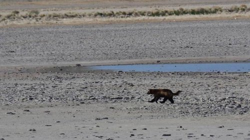 Rare wolverine sighting caught on video in Utah. Now, biologists can't find it