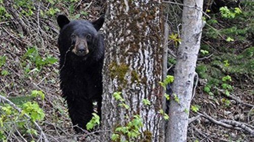 Bear euthanized after visitor hit it in Glacier National Park but never reported crash