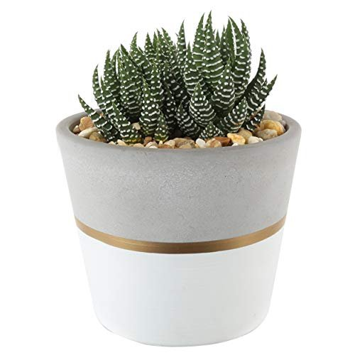 Succulent plant in white gold ceramic holder