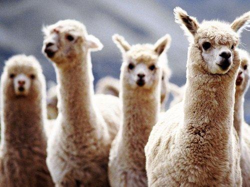 COVID-19: Llama nanobodies may offer new treatment