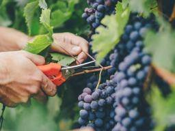 Grapes: Health benefits, tips, and risks