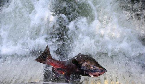 Are Chinook salmon native to the Guadalupe river? Ancient DNA might give us a clue