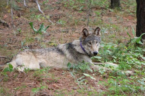 2 California wolf packs produced pups in 2021