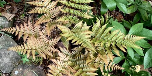 The Best All-Around Fern for Beginners