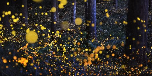 Great Smoky Mountains National Park Announces Dates for World-Famous Synchronous Firefly Display
