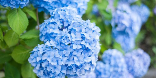 A Month-by-Month Hydrangea Care Guide