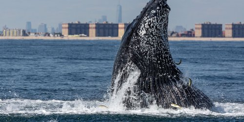 A Humpback Whale Was Found Swimming in NYC Near the Statue of Liberty — See the Incredible Video