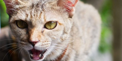 Here's What a Hissing Cat Is Trying to Tell You